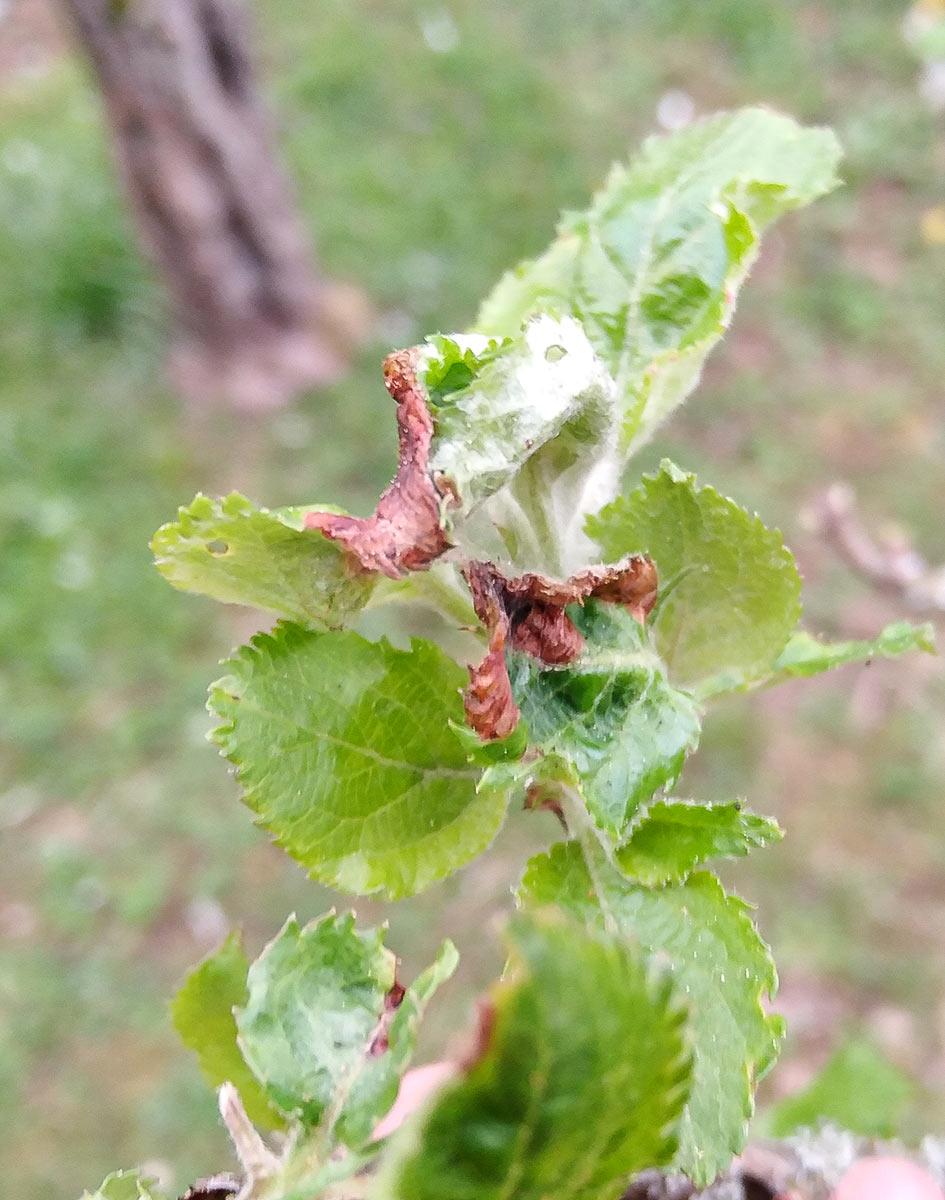 Platzminen an jungen Blättchen durch Apfelbaumgespinstmotte
