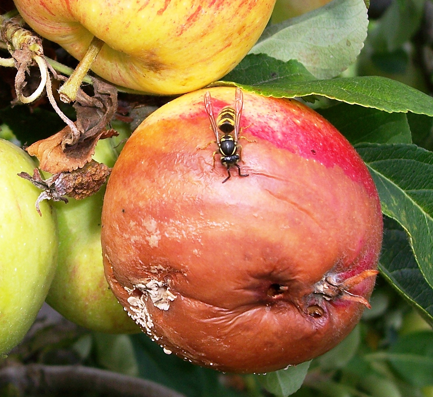 05_Wespe auf Monilia-Apfel