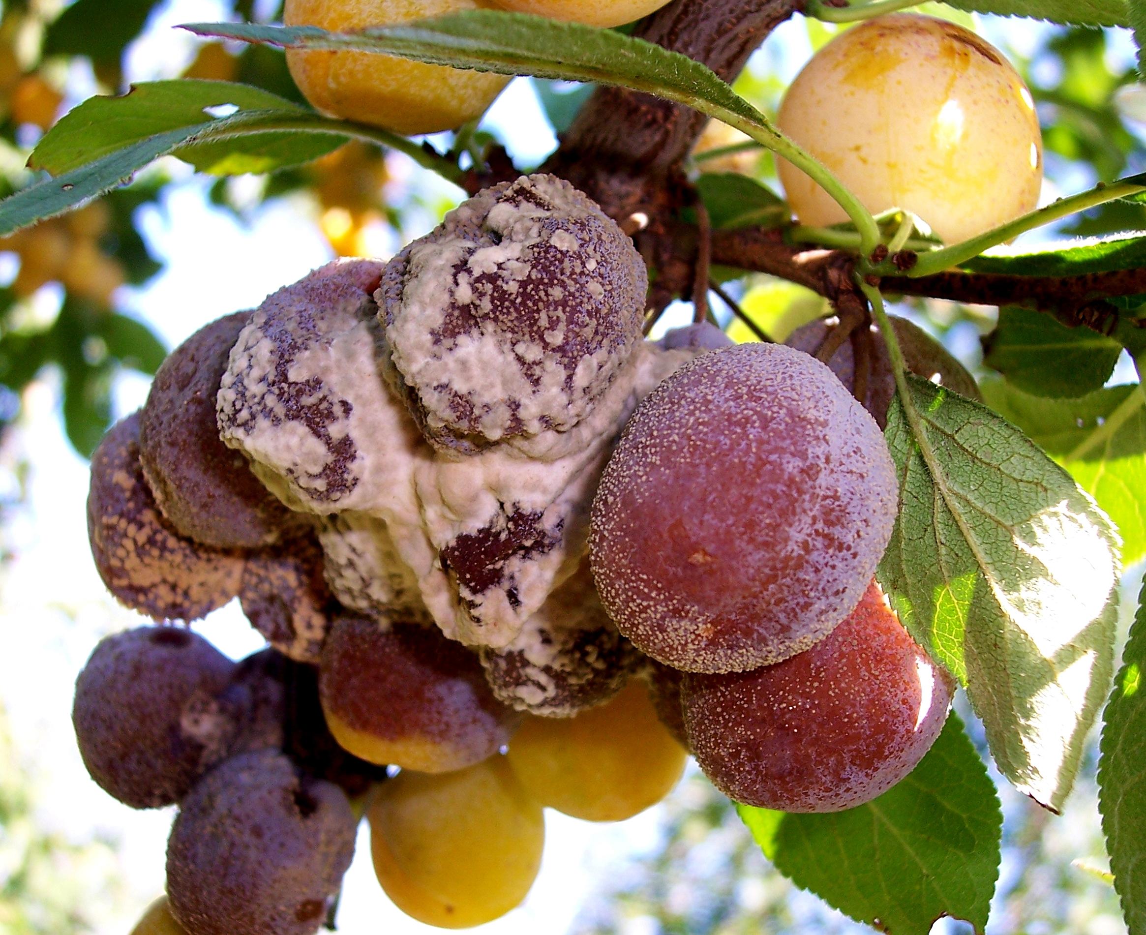 07_Fruchtmonilia-Mirabellen