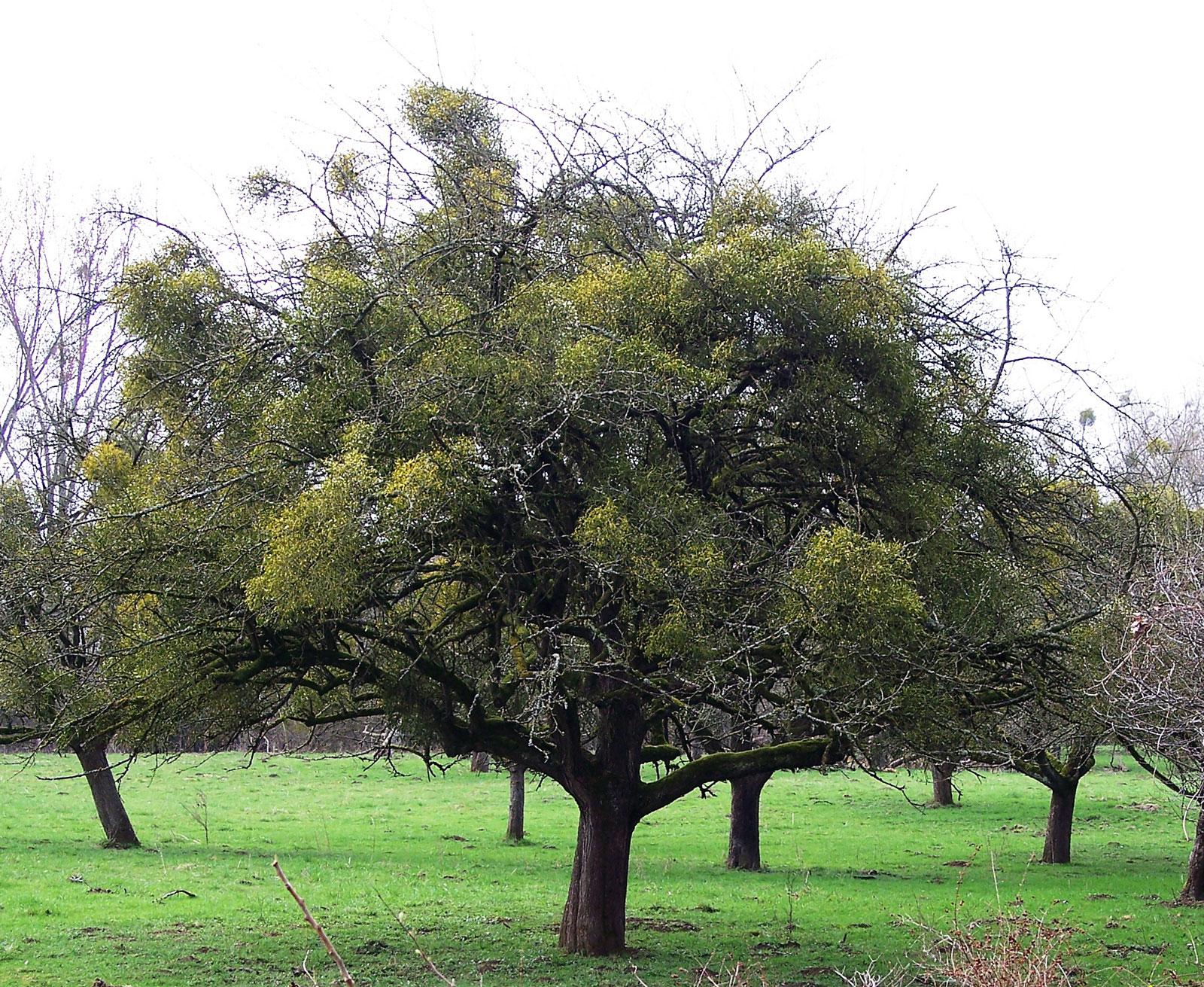 04_101_0547-Apfelbaum-mit-Misteln