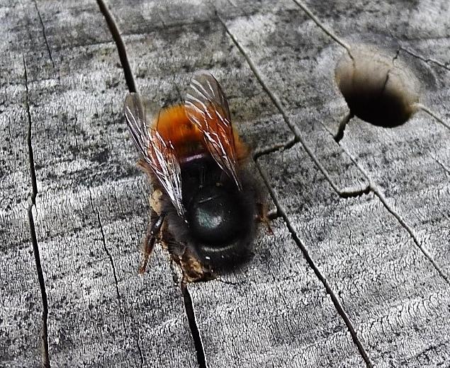 05_Gehörnte-Mauerbiene-am-Insektenhotel