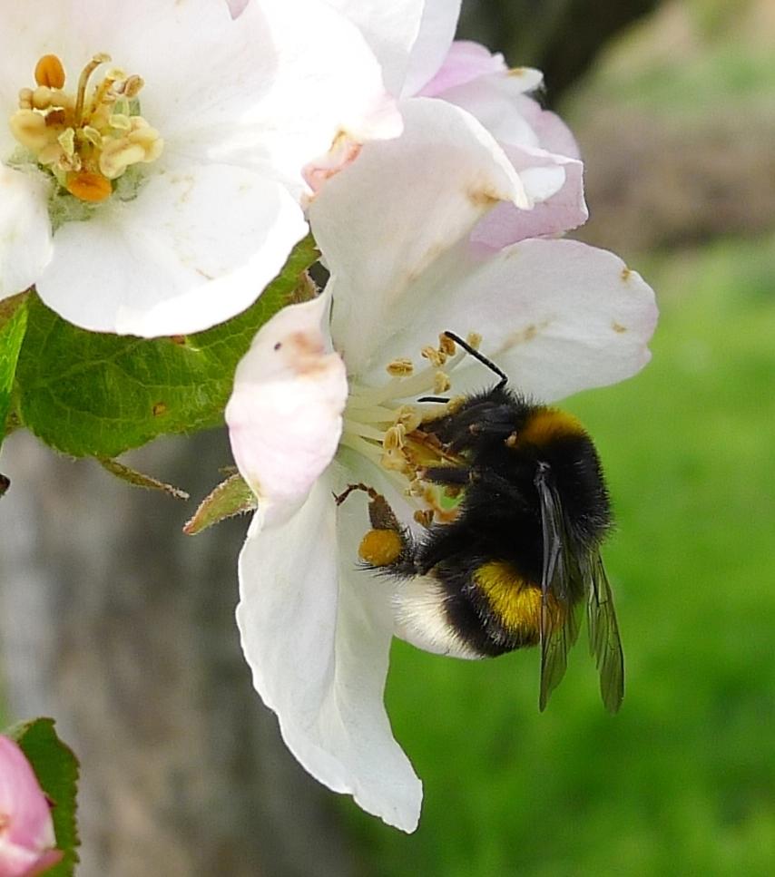 06_Erdhummel-an-Apfelblüte