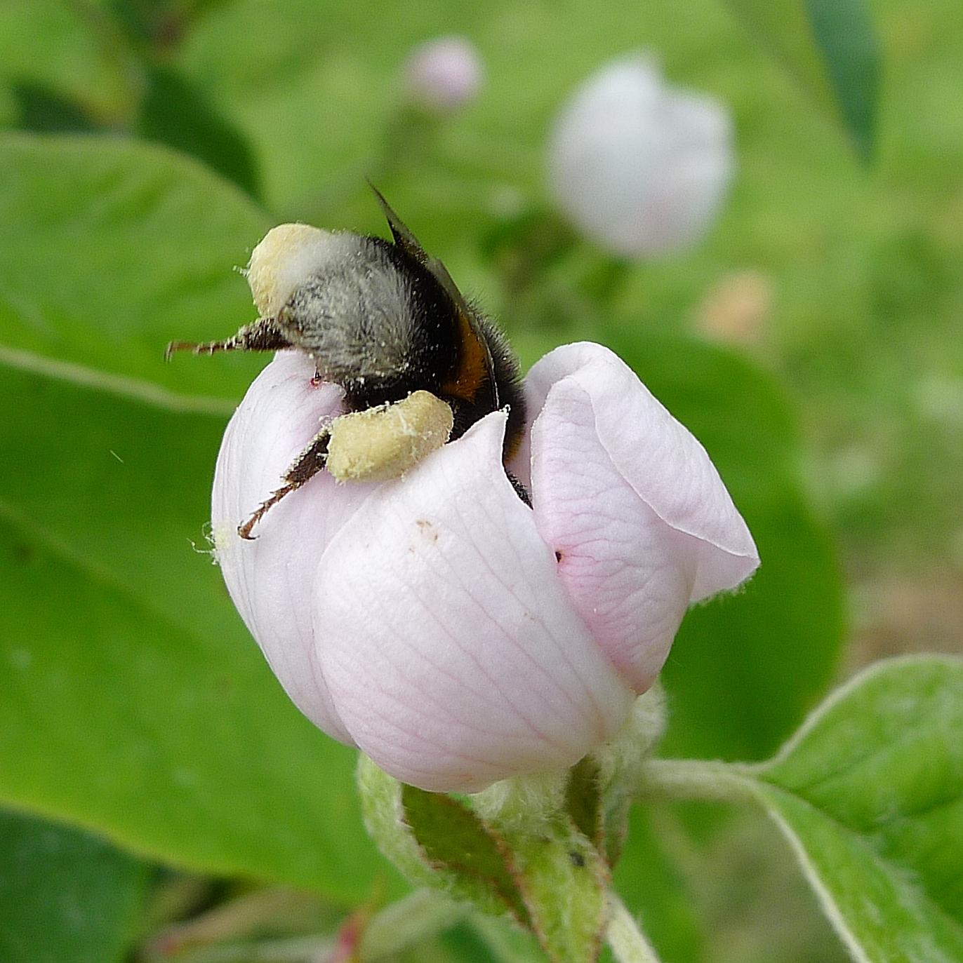 07_mit-Pollenhöschen-in-Quittenblüte